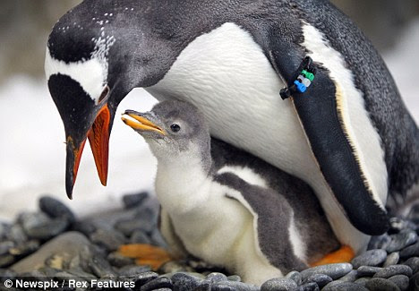 Beautiful: With their flamboyant red-orange beaks, white-feather caps, and peach-colored feet, gentoo penguins stand out against their natural drab, rock-strewn Antarctic habitat