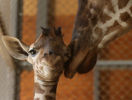 Giraffe Giving Birth Yet? April Labor Update