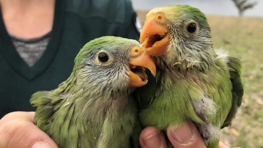 Superb parrots bounce back from poor breeding years with strong result
