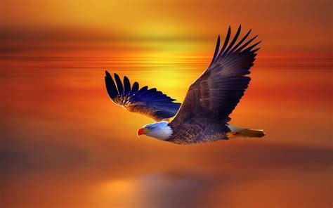 Colorful bald eagle flying in the sunset