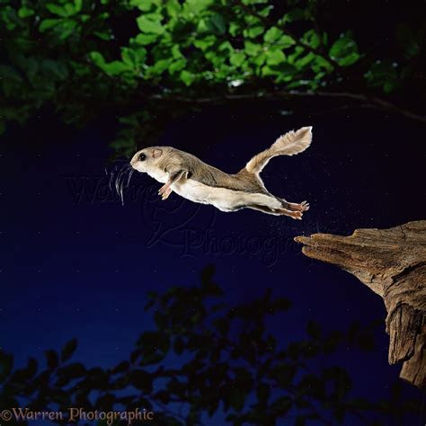 Southern Flying Squirrel photo WP11466