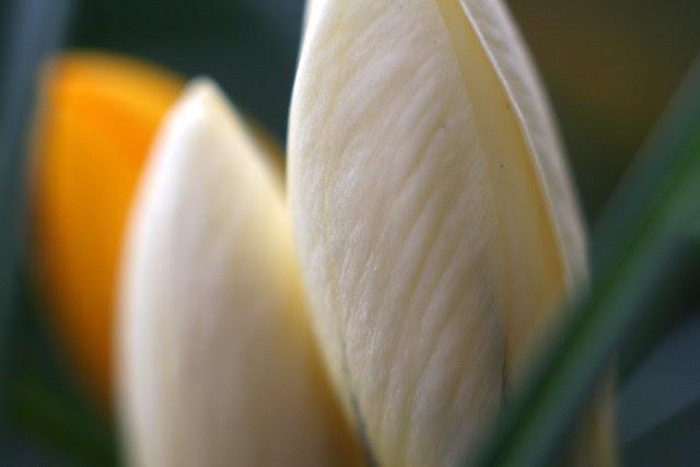 white crocus bud
