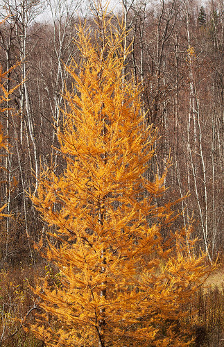 Autumn Tamaracks  02.jpg