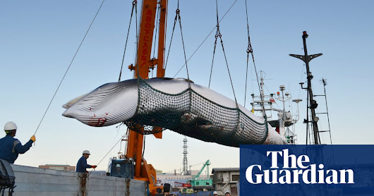 Japan confirms it will quit IWC to resume commercial whaling | Environment | The Guardian
