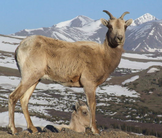Bighorn Sheep with Grays and Torreys Peak in the Background