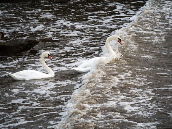 Ed Gaillard: birds &emdash; Mute Swans, Hudson River