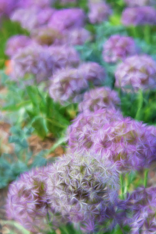 Purple Allium Flower Garden In Late Spring by Barbara Rogers Nature Inspired Art Photography
