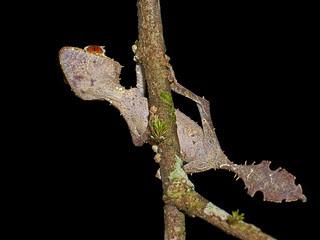 Satanic Leaf Tailed Gecko (Uroplatus phantasti...