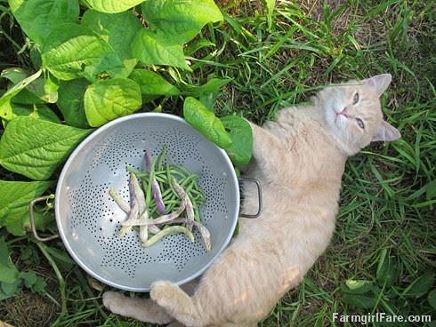 Jasper helping harvest Maxibel and Dragon Langerie bush beans in the kitchen garden - FarmgirlFare.com