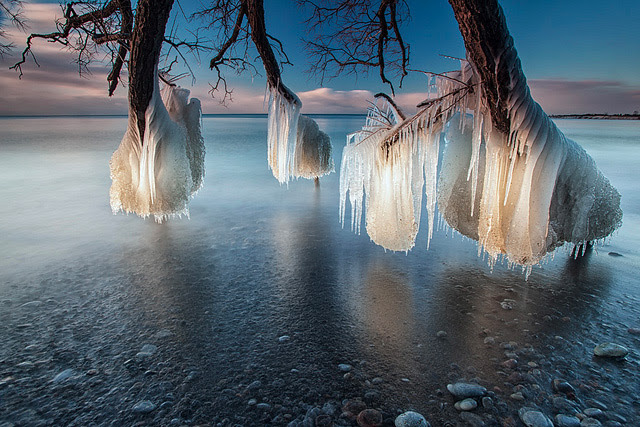 Frozen Trees on the Shores of Lake Ontario trees ice Canada