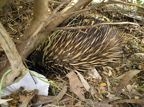 James the Echidna
