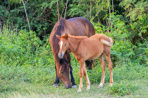 Horse and Foal, Vieques National Wildlife Refuge, Vieques, Puerto Rico