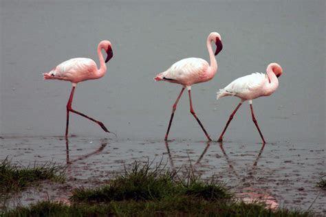 File:Lesser flamingos   Wikipedia
