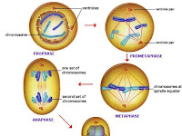 Anaphase Diagram