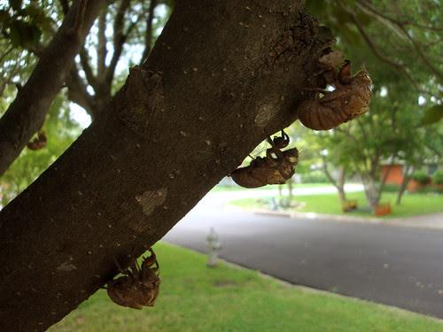 cicadas_3onatree