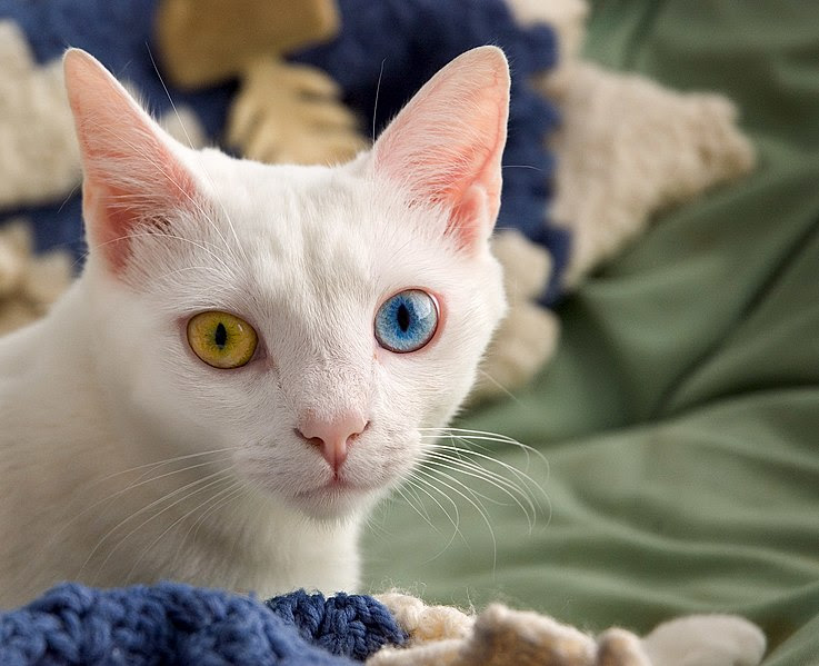File:June odd-eyed-cat.jpg