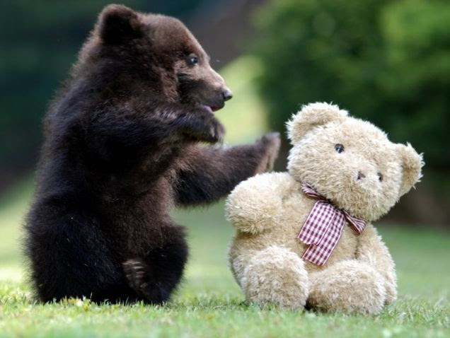 Bear cub playing with teddy bear