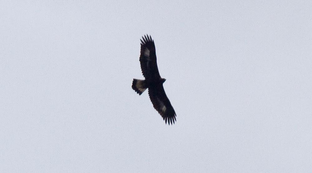 Harlem Golden Eagle