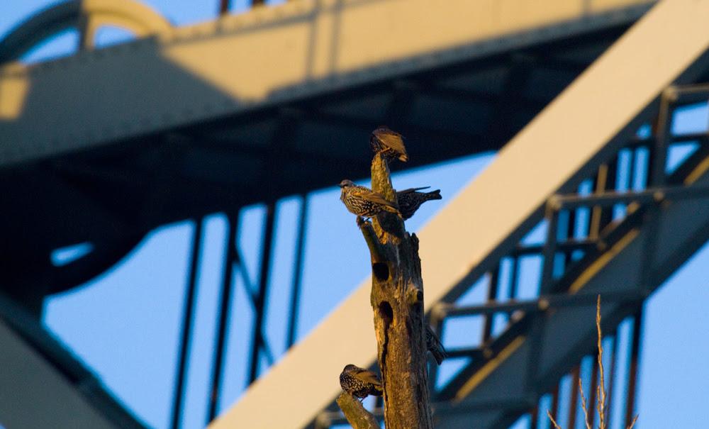 Broadway Starlings