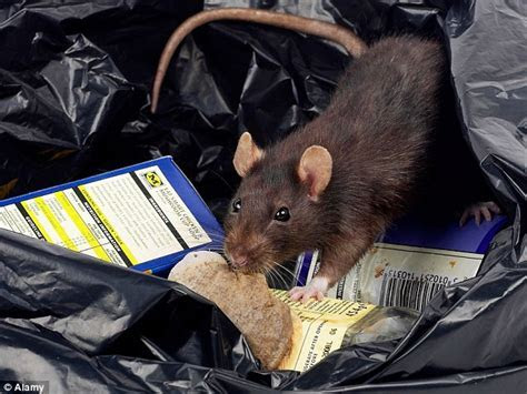 New York does NOT have as many rats as people   but has 2 million   Daily Mail Online