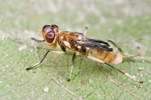 A newly emerged fly, <i>Xenaspis</i> Osten Sacken of the <i>Platystomatidae</i>? IMG_9678 copy