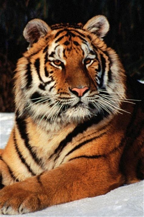 Cool Tiger Wallpapers For Iphone