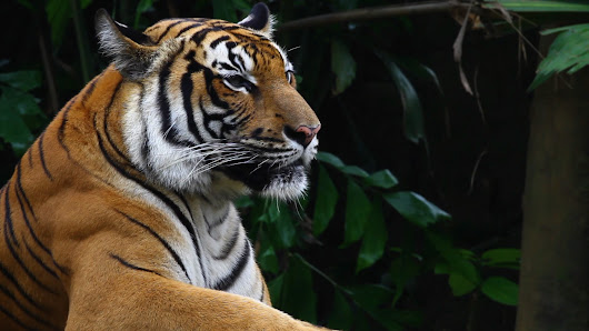 Switch to FSC-certified products and save tigers - WWF | WWF