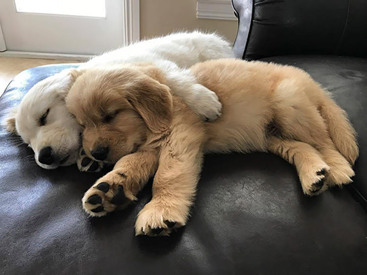 Golden retriever puppies for Sale in Antipolo City Philippines