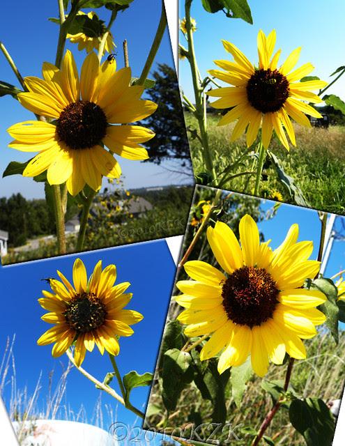 CollageSunflowers1