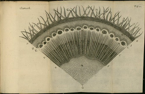 Sumach - The comparative anatomy of trunks - Nehemiah Grew 1675