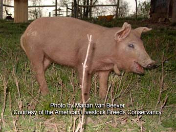 Red Wattle piglet - photo by Marian Van Beever