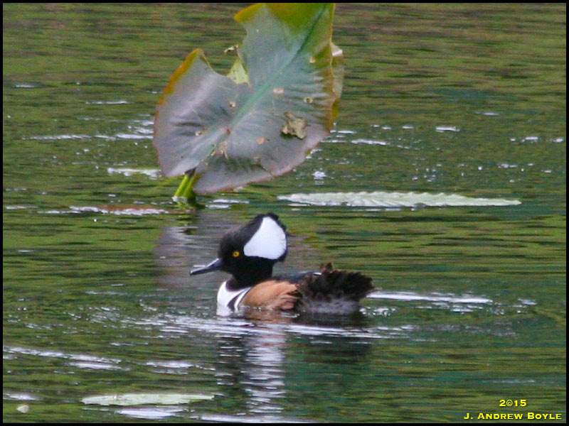 Hooded Merganser,