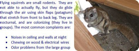 How to Get Rid of Flying Squirrels in the Attic of a House