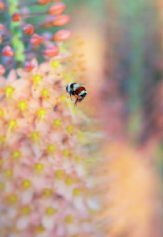 Orange Belted Bumble Bee On Foxtail Lily Flowers by Barbara Rogers Nature Inspired Art Photography