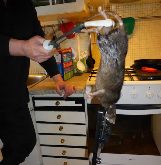 You Have To See This Gigantic Rat Caught By An Exterminator
