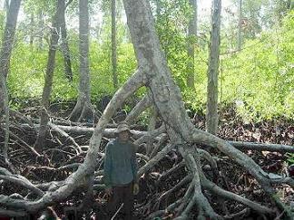 Definisi Hutan Mangrove