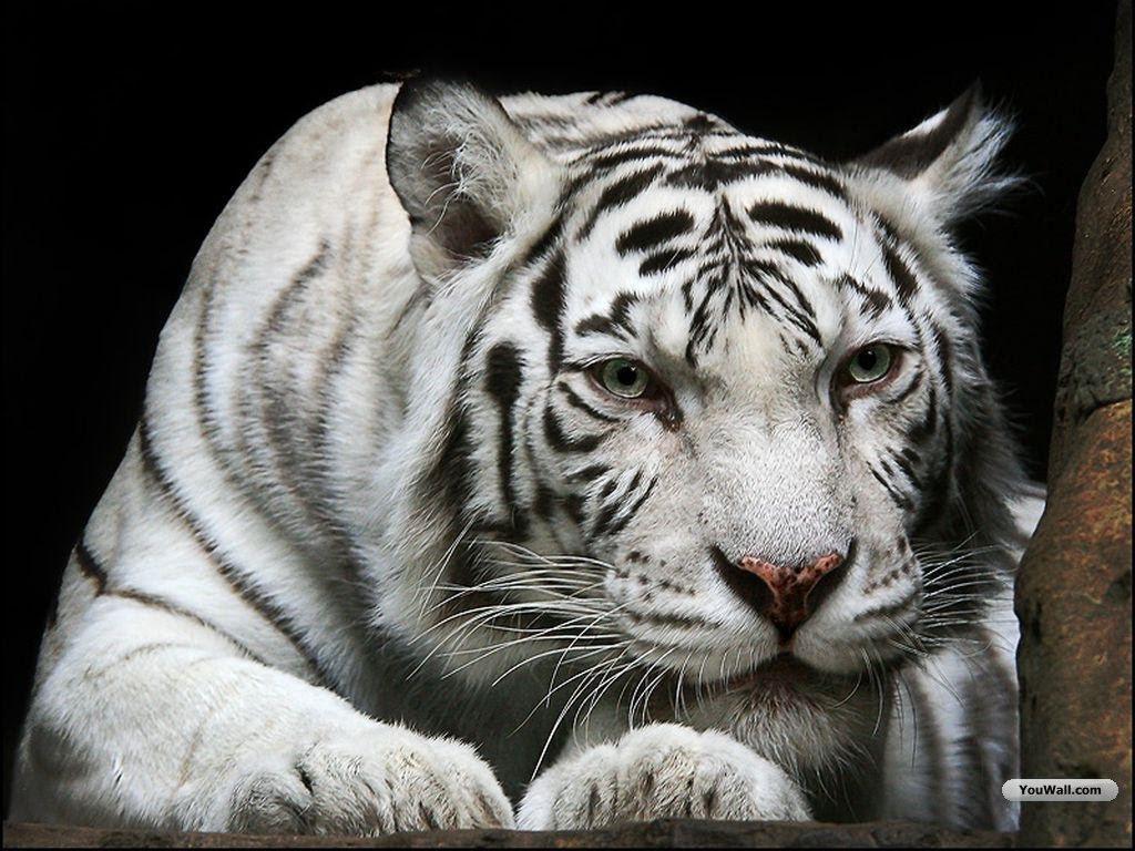 White Tiger Cub Wallpaper