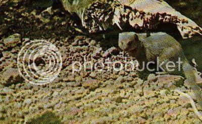 Pg4-6, DWARF MONGOOSE