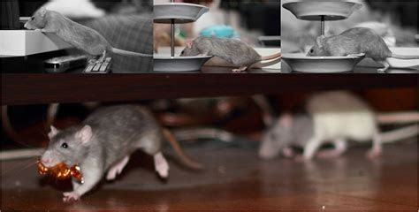 How to Get Rid of Rats & Mice, and Prevent Rodent Invasions   Springer