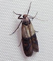 Indianmeal moth 2009.jpg