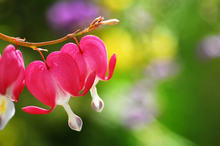 Bleeding Heart Flower Meaning Flower Meaning