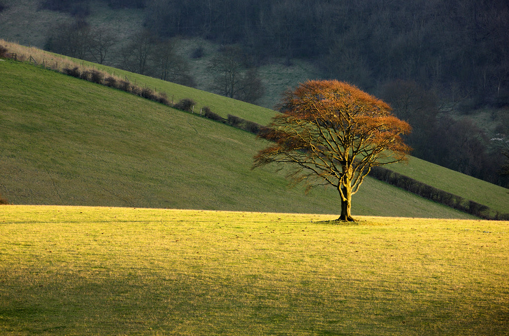 Beech tree, Stanmer Down