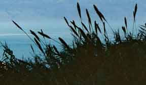 Sea of Reeds
