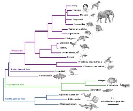 Il genoma immutabile (o quasi) del celacanto, fossile vivente