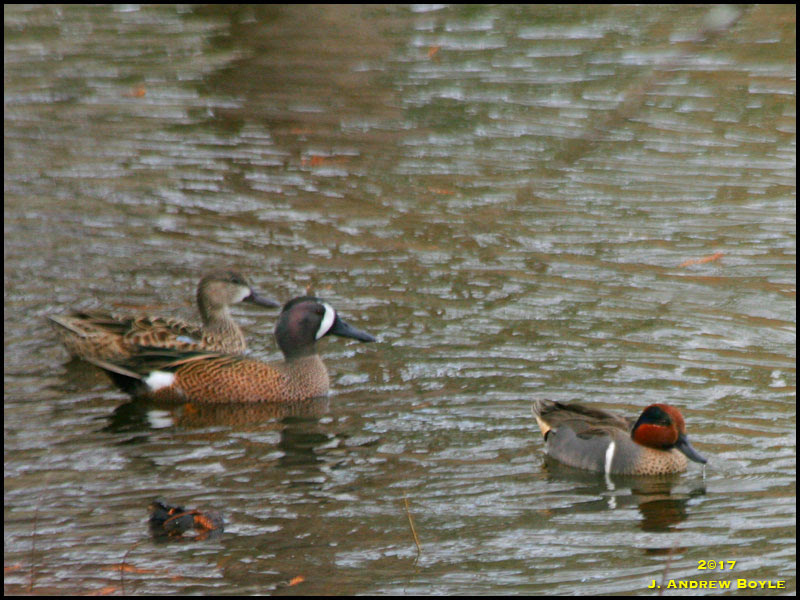 Green-winged Teal, Blue-winged Teal