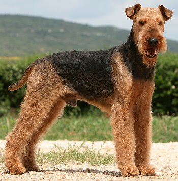 Airedale Terriers: Advice You Can Trust