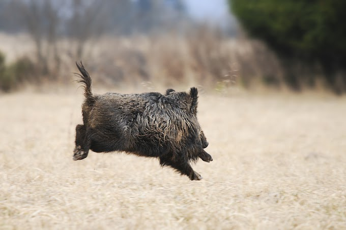 TREND ESSENCE: Nude man seen chasing down wild boar after it stole his laptop while he was sunbathing