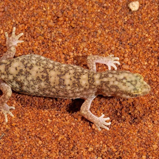 New species of gecko discovered in outback Queensland