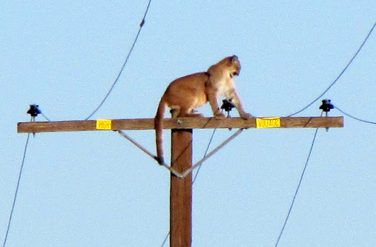 Why did the cougar climb the pole?