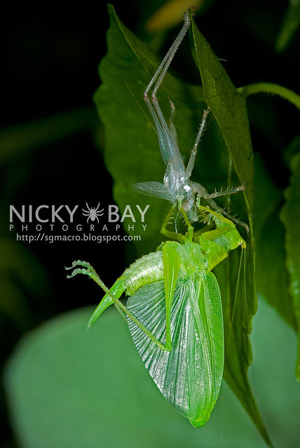 Katydid, freshly moulted (Tettigoniidae) - DSC_8781